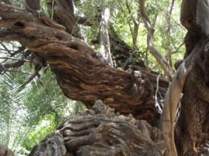 this old tree in San Javier